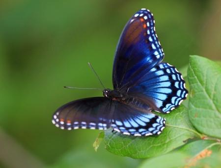 ojos azules: Manchado rojo púrpura mariposa descansa sobre una hoja en Maryland durante el verano