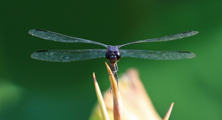 Slaty Skimmer dragonfly perching on a lotus flower stem in Washington DC during the summer