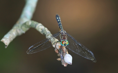 translucense: Female Blue Dasher dragonfly resting on a twig in Maryland during the summer