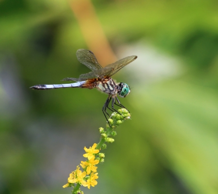 translucense: Male Blue Dasher dragonfly resting on a wildflower stem in Maryland during the summer