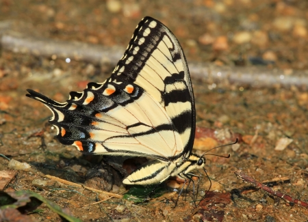 Eastern Tiger Swallowtail butterfly mud puddling for minerals in Maryland during the summer photo