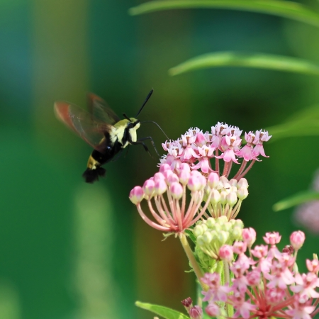 translucense: Snowberry Clearwing moth hovering while feeding on nectar from Joe Pye weed in Maryland during the summer Stock Photo