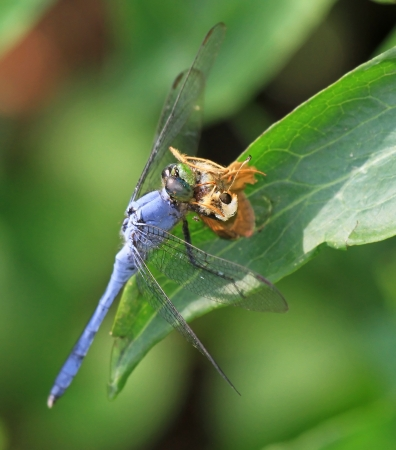 Male Eastern Pondhawk dragonfly eating a Sachem butterfly while resting on a leaf in Maryland during the summer Stock Photo - 14807215