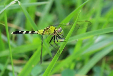 Female Eastern Pondhawk dragonfly resting on a grass stem in Maryland during the summer Stock Photo - 14807219