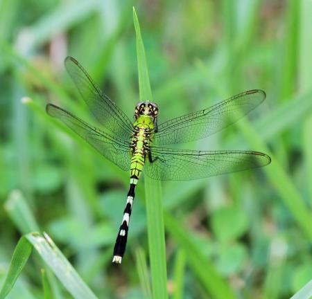 Female Eastern Pondhawk dragonfly resting on a grass stem in Maryland during the summer Stock Photo - 14807175