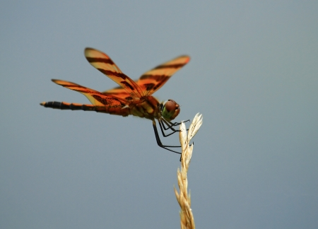 odonatology: Female Halloween Pennant dragonfly resting on a wild grass stem in Maryland during the summer