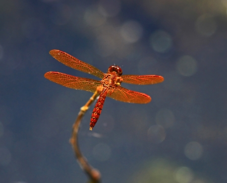 pruinose: A tiny Eastern Amberwing dragonfly perching on a twig by a lake in Maryland during the summer