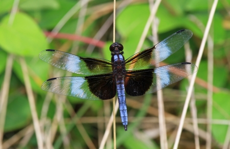 pruinose: Widow Skimmer dragonfly perching on a twig by a lake in Maryland during the summer