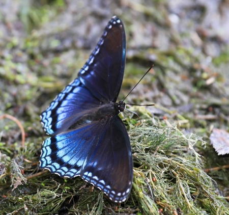 Red Spotted Purple butterfly mud puddling for minerals by a lake in Maryland during the summer photo