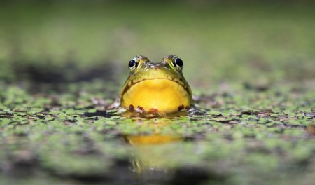 Adult male Northern Green Frog sitting in a pond with duckweed in Maryland during the summer photo