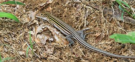 suelo arenoso: Adult oriental de seis l�neas Racerunner lagarto descansando en el suelo arenoso en el bosque en Maryland durante el verano