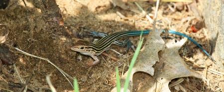 suelo arenoso: Este joven de seis líneas Racerunner lagarto descansando en el suelo arenoso en el bosque en Maryland durante el verano