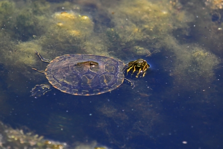 cooter: Very young Northern Red-bellied Cooter turtle swimming in a lake in Maryland during the summer