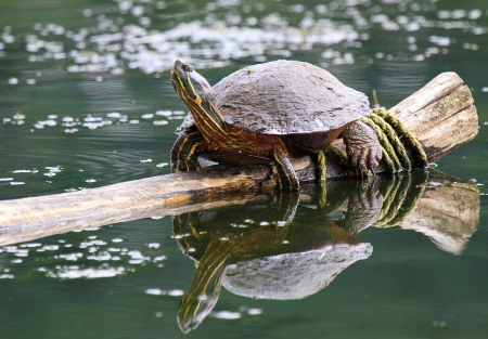 cooter: Large adult Northern Red-bellied Cooter turtle basking in the sun in Maryland during the summer