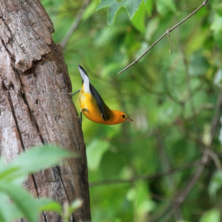 Prothonotary Warbler bird perching in a tree in wetlands in Maryland during the summer Stock Photo
