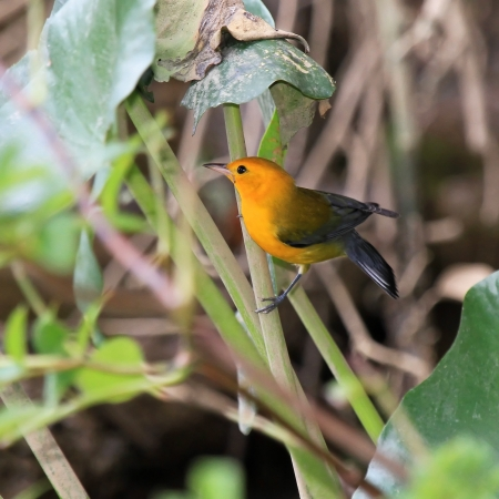 Prothonotary Warbler bird perching in a tree in wetlands in Maryland during the summer photo