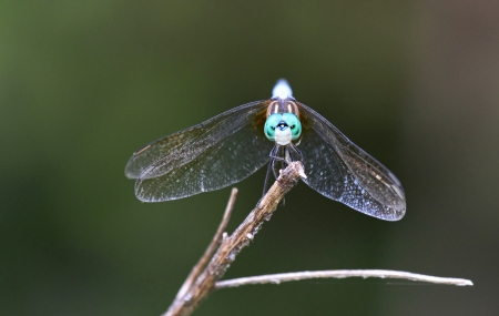 pruinose: Male Blue Dasher dragonfly resting on a twig in Maryland during the summer  Stock Photo