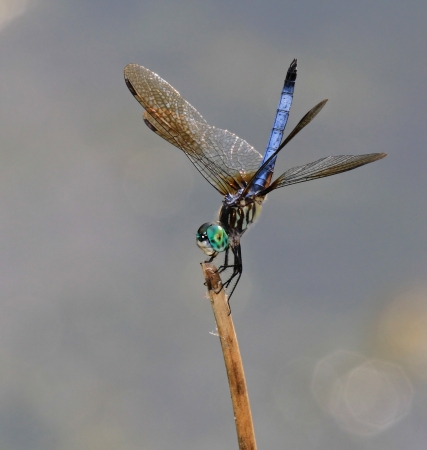 pruinescence: Male Blue Dasher dragonfly resting on a twig in Maryland during the summer  Stock Photo