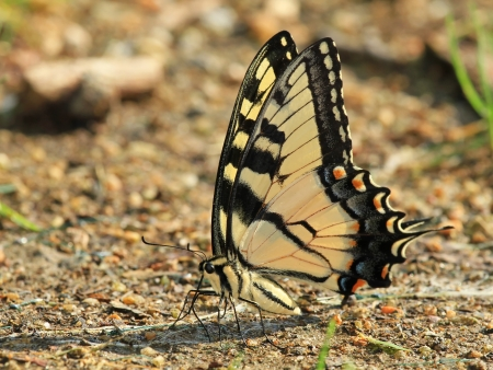 Eastern Tiger Swallowtail butterfly with closed wings mud puddling for minerals in Maryland during the summer photo