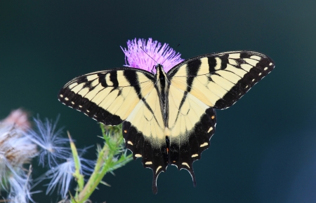 Eastern Tiger Swallowtail butterfly feeding on Spear Thistle wildflowers in Maryland during the summer Stock Photo - 14854683