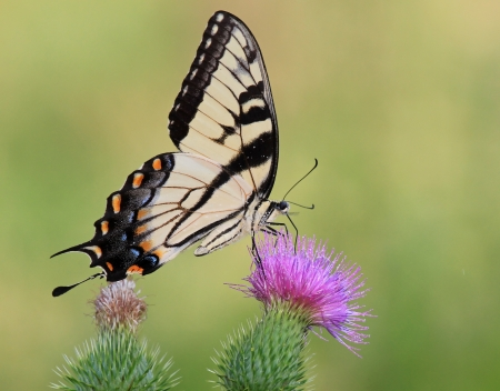 papilionidae: Eastern Tiger Swallowtail butterfly feeding on Spear Thistle wildflowers in Maryland during the summer