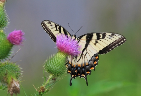 Eastern Tiger Swallowtail butterfly feeding on Spear Thistle wildflowers in Maryland during the summer Stock Photo - 14854688