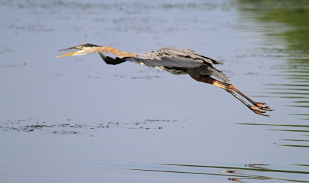 Great Blue Heron flying over a lake in Maryland during the summer photo