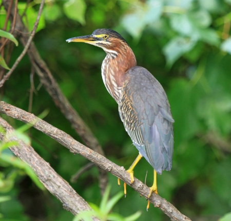 Green Heron perching in a tree by a lake in Maryland during the summer photo