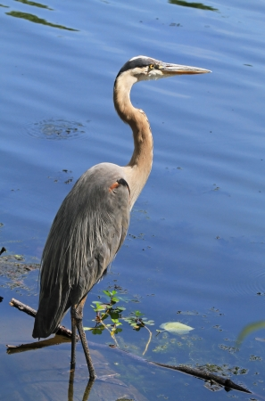 Great Blue Heron wading and hunting in a lake in Maryland during the summer photo