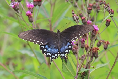 Spicebush Swallowtail butterfly feeding on thistles in Maryland during the summer Stock Photo - 14923889