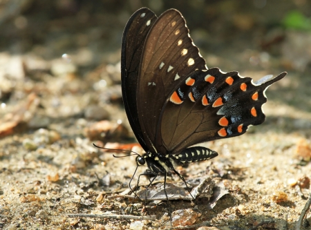 Spicebush Swallowtail butterfly mud puddling for minerals in Maryland during the summer Stock Photo - 14923879
