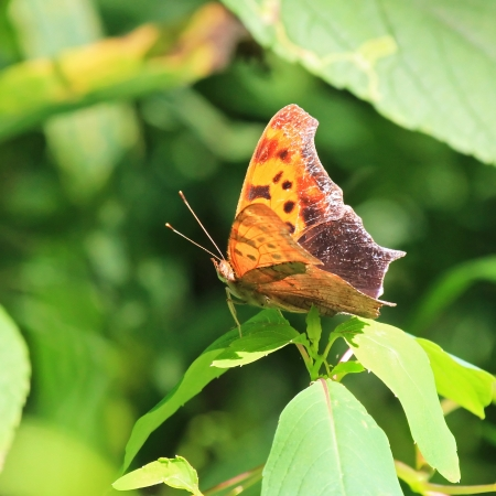 and comma: Eastern Comma butterfly resting on leafy vegetation in Maryland during the summer Stock Photo