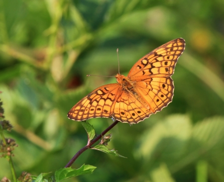 Variegated Fritillary butterfly feeding on meadow wildflowers in Maryland during the summer