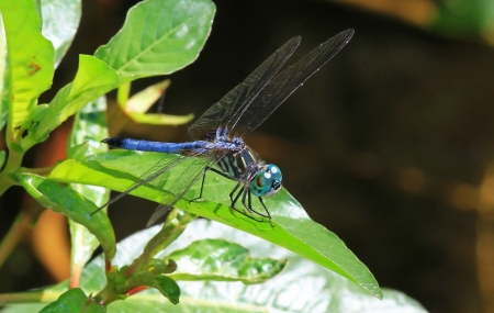 translucense: Male Blue Dasher dragonfly resting on a leaf in Maryland during the summer