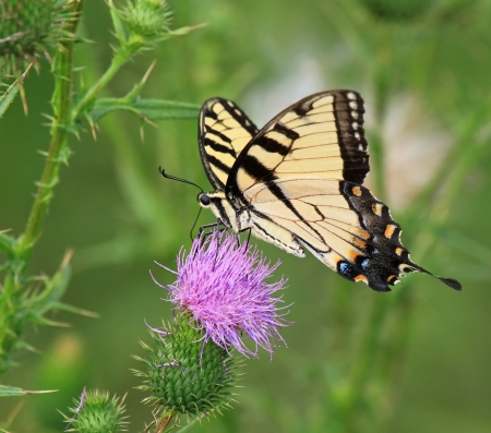 Eastern Tiger Swallowtail butterfly feeding on Spear Thistle wildflowers in Maryland during the summer Stock Photo - 14923818