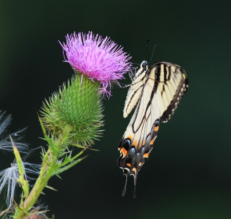 Eastern Tiger Swallowtail butterfly feeding on Spear Thistle wildflowers in Maryland during the summer Stock Photo - 14923885