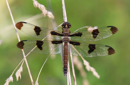 Female Common Whitetail dragonfly resting on a plant stem by a lake in Maryland during the summer photo