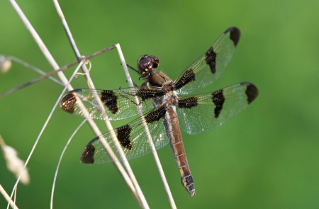 Female Common Whitetail dragonfly resting on a plant stem by a lake in Maryland during the summer Stock Photo - 14923820