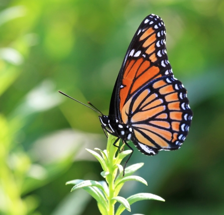 Viceroy butterfly resting on meadow vegetation in Maryland during the summer photo