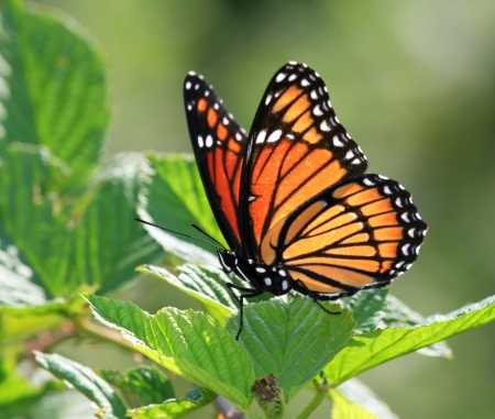 Viceroy butterfly resting on meadow vegetation in Maryland during the summer