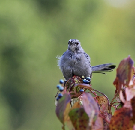 gray catbird: Young Gray Catbird fledgling perching on a Green Osier bush in Maryland during the summer Stock Photo