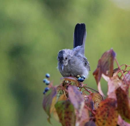 dumetella: Young Gray Catbird fledgling feeding on fruit from a Green Osier bush in Maryland during the summer