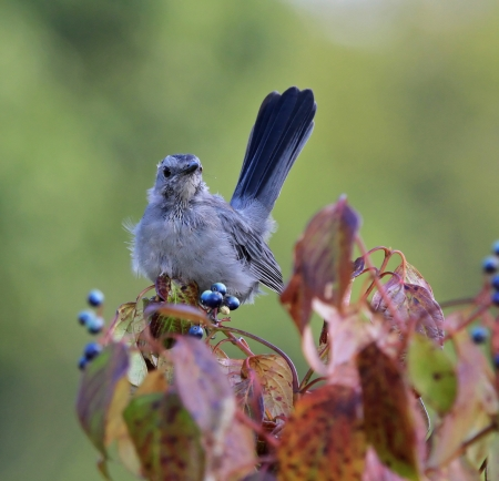 catbird: Young Gray Catbird fledgling perching on a Green Osier bush in Maryland during the summer Stock Photo