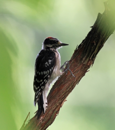 Juvenile male Hairy Woodpecker bird perching on a tree in shady woodland in Maryland during the summer photo
