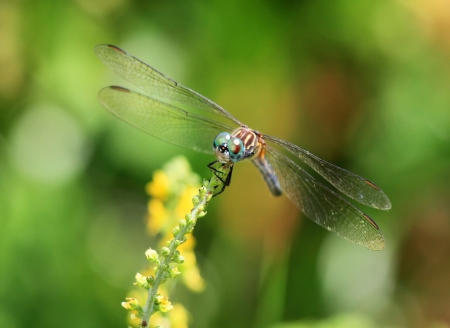 translucense: Female Blue Dasher dragonfly resting on a wildflower in Maryland during the summer