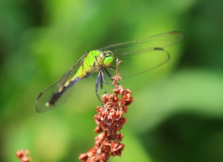 erythemis: Female Eastern Pondhawk dragonfly resting on a wildflower in Maryland during the summer