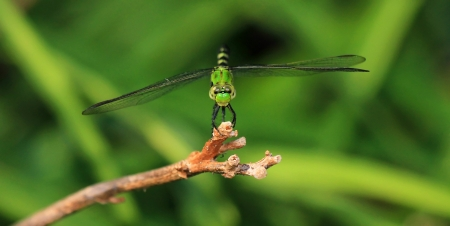 Female Eastern Pondhawk dragonfly resting on a twig in Maryland during the summer photo
