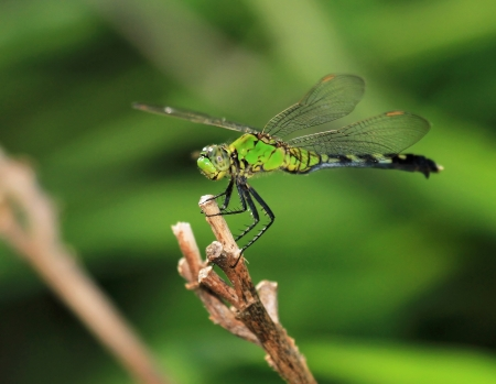 erythemis: Female Eastern Pondhawk dragonfly resting on a twig in Maryland during the summer Stock Photo