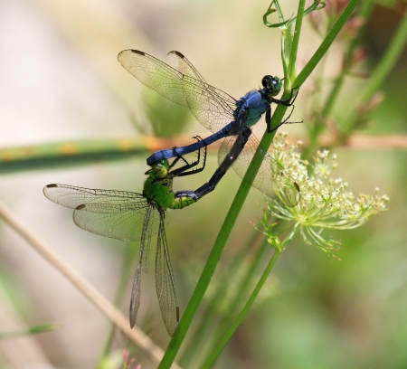pruinescence: Two Eastern Pondhawk dragonflies mating by a lake in Marland during the summer