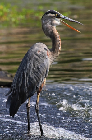Great Blue Heron standing in a running water and panting to cool down in Maryland during the summer  Archivio Fotografico